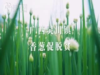 广西灵川镇香葱促脱贫